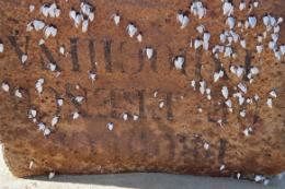 Imagem: Outro item pesquisado são as cracas (espécie de crustáceos) encontradas nas caixas (Foto: Luiz Ernesto Bezerra)