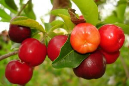 Imagem: O estudo constatou que a acerola tem altas concentrações de material antioxidante (Foto: site viveiroflorabrasil.com.br)