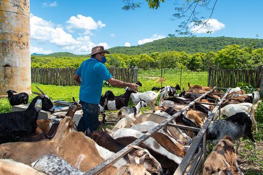 Imagem: Rebanho caprino é alimentado por servidor na Fazenda Experimental Vale do Curu (FEVC), em Pentecoste (Foto: Viktor Braga)