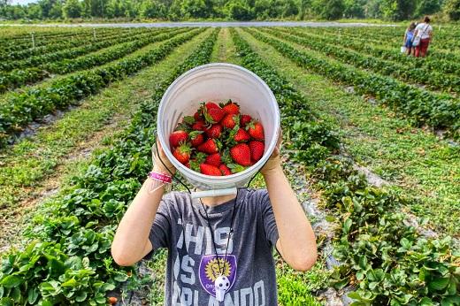 Imagem: Agricultor mostra colheita de morangos (Foto: Mick Haupt/Unsplash)