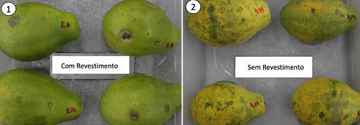 Comparação entre o mamão sem revestimento e com: na direita, mamão mais verde (com revestimento); na esquerda, mamão mais amarelado (sem revestimento)