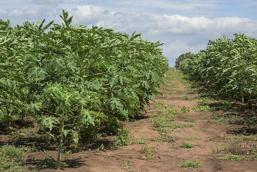 Imagem: Área irrigada destinada à agricultura, às margens do açude Castanhão